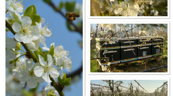Bijendrukte In De Boomgaard Van Oudebosch